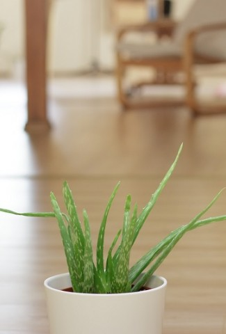 Herbal Aloe Bath & Body Care Products Aloe Plant in a Family Room on a Wooden Floor