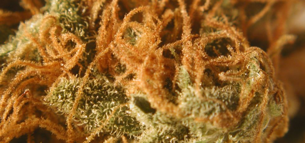 orange cookies_weed hairs