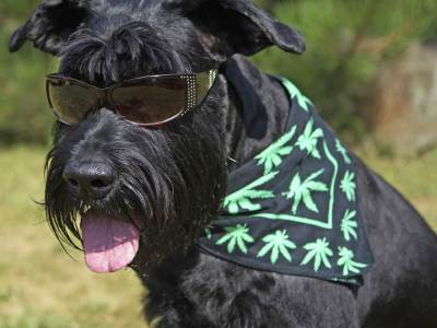 cannabis-for-dogs