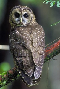The northern spotted owl. photo: USFS Region 5 (Pacific Southwest)