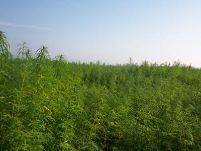 uk-hemp-farmers