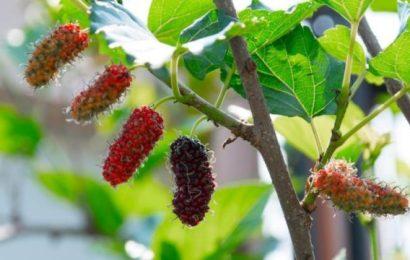 Dut Meyvesi Adeta Bir Eczane Gibi Şifa Deposudur…!