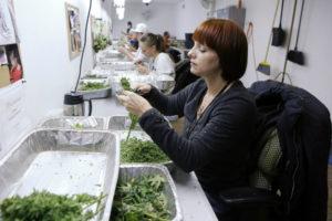 Au Colorado, la fraude se compte en kilo de weed