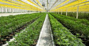 Gaspillage cannabis au Canada
