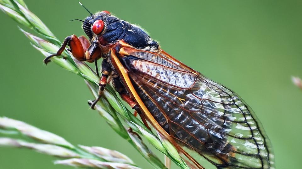 https://i2.wp.com/www.newswise.com/images/uploads/2013/04/12/cicada.jpg