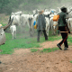 Controversy trails FG's cattle colony programme