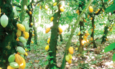 The amazons of cocoa farms