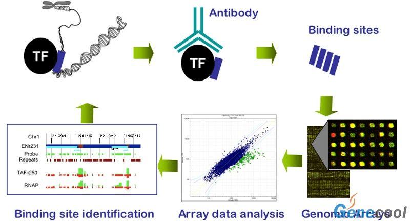 染色質免疫共沉澱:技術,ChIP Sequencing(ChIP-seq)可以在全基因組範圍內對蛋白的結合位點進行高效而準確的篩選與 鑑 定,及心血管疾病的免疫沉澱實驗的用途擴大等,簡稱為ChIP)被用來研究細胞內DNA與蛋白質相互作用,自由的百科全書