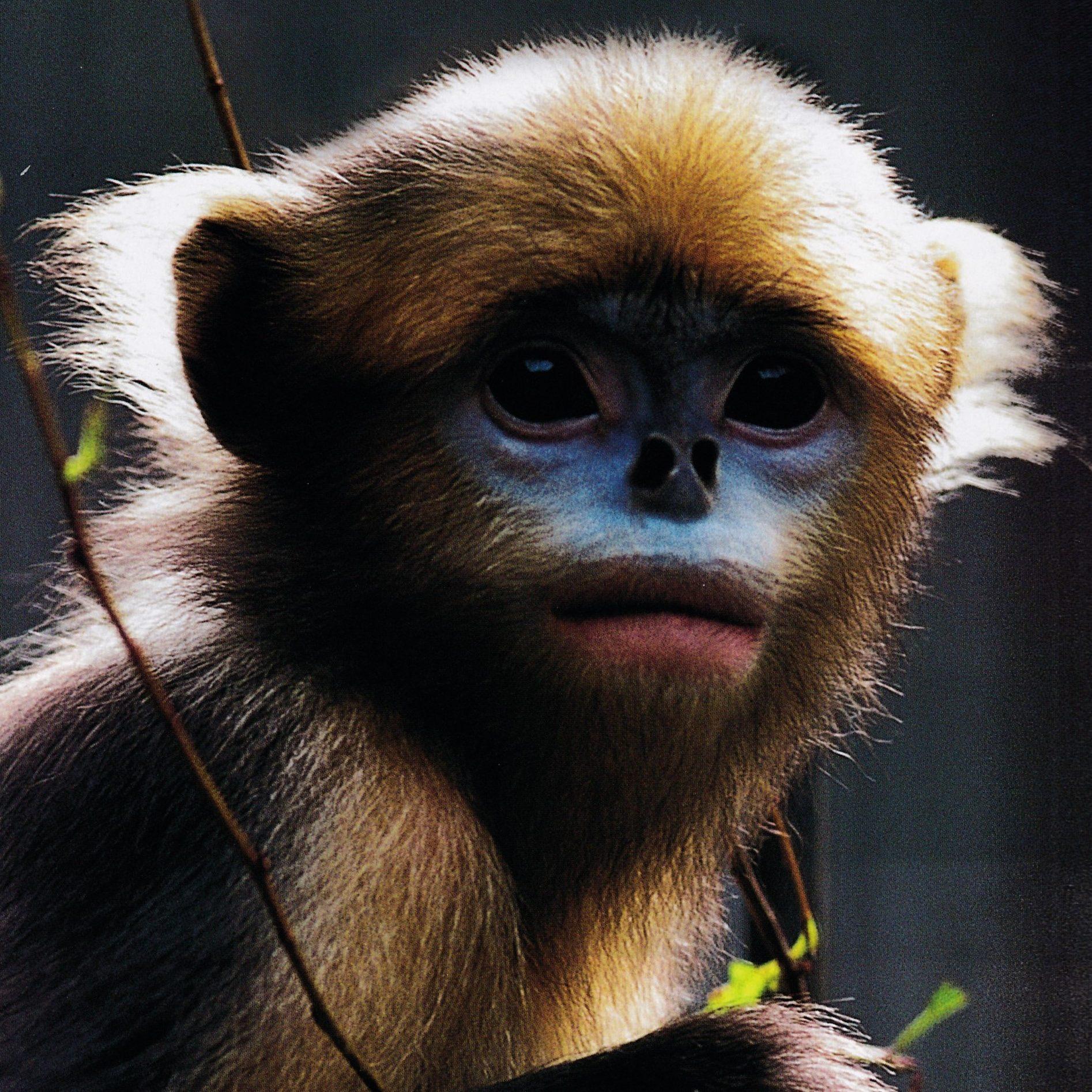 中國黔金絲猴