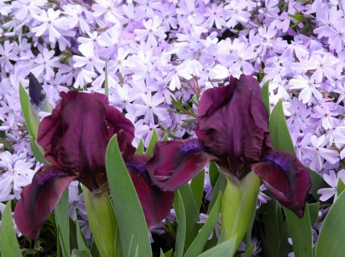 Spring flowers, iris, phlox, Reno, Nevada, NV.