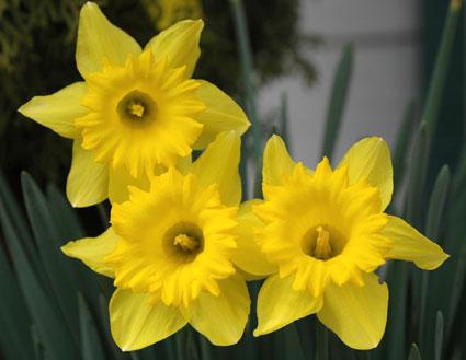 Daffodils, spring flowers, Reno, Nevada, NV.