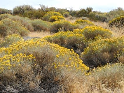Rabbitbrush in south Reno, Nevada, NV
