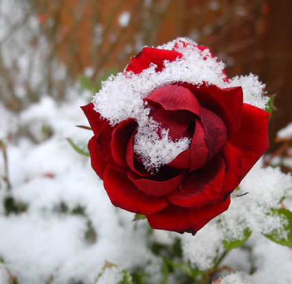 Snow on a rose in Reno, Nevada, NV.