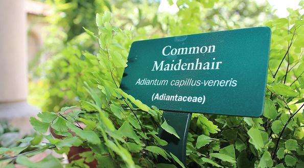 Common_Maidenhair_blog
