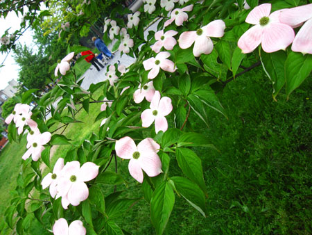 blossomsnys