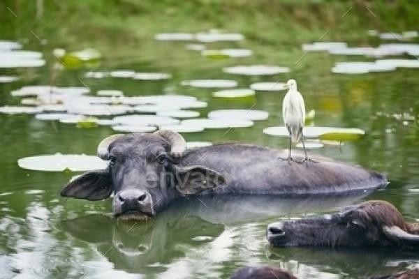 Cooperation between water buffalo and bird