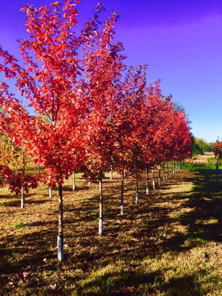 fall nursery trees