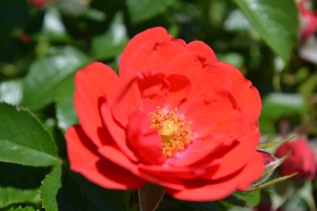 Double Knock Out Rose