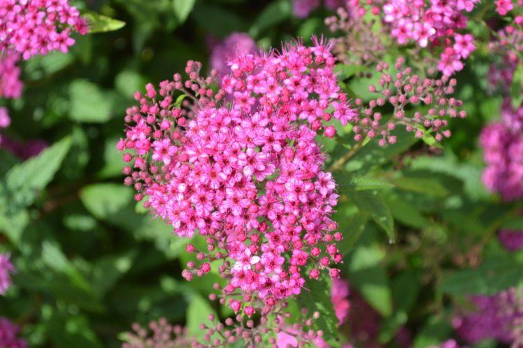 Neon Flash Spirea Pink Flower Cluster