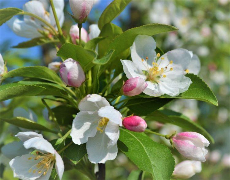 Donald Wyman Crabapple Flowers