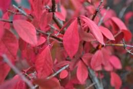 Dwarf-Burning-Bush-Fall-Color-Close-Up