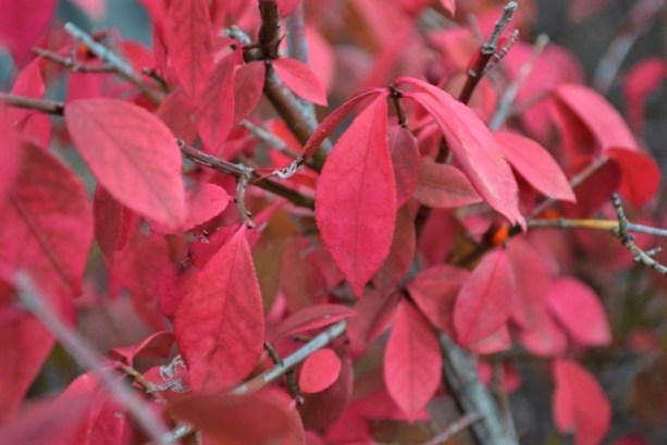 Dwarf-Burning-Bush-Fall-Color-Close-Up