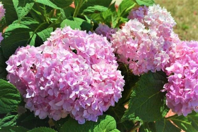 Endless-Summer-Hydrangea-Pink