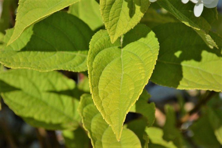 Limelight-Hydrangea-Leaves