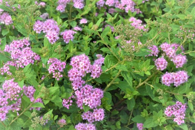 Little Princess Spirea Shrub