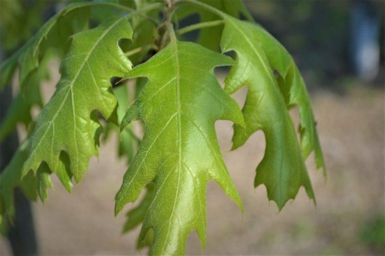 Northern Red Oak Leaves