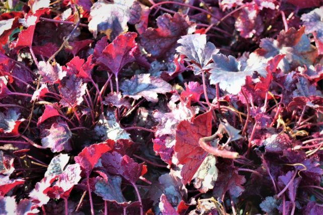 Plum Pudding Coral Bells