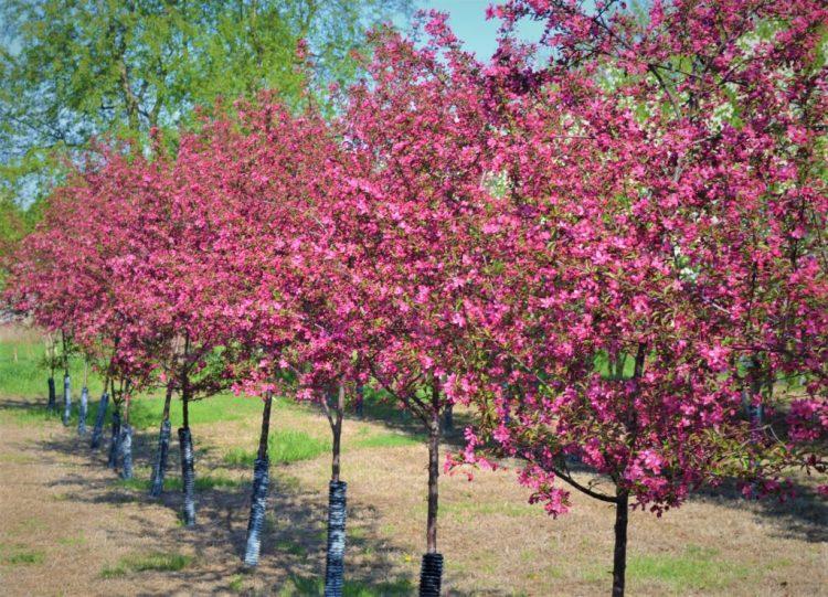 Prairifire Crabapple Trees