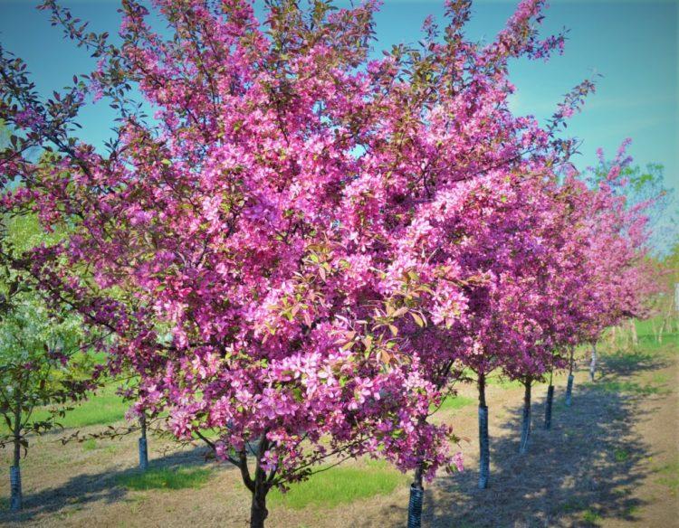 Profusion Crabapple Trees