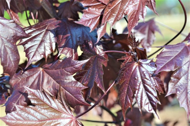 Royal Red Maple Leaves