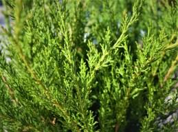 Sea Green Juniper