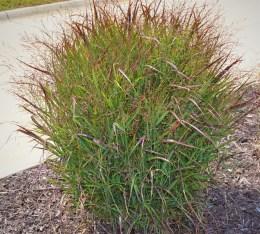 Shenandoah-Switch-Grass