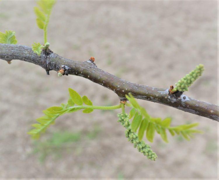 Skyline Honey Locust Buds