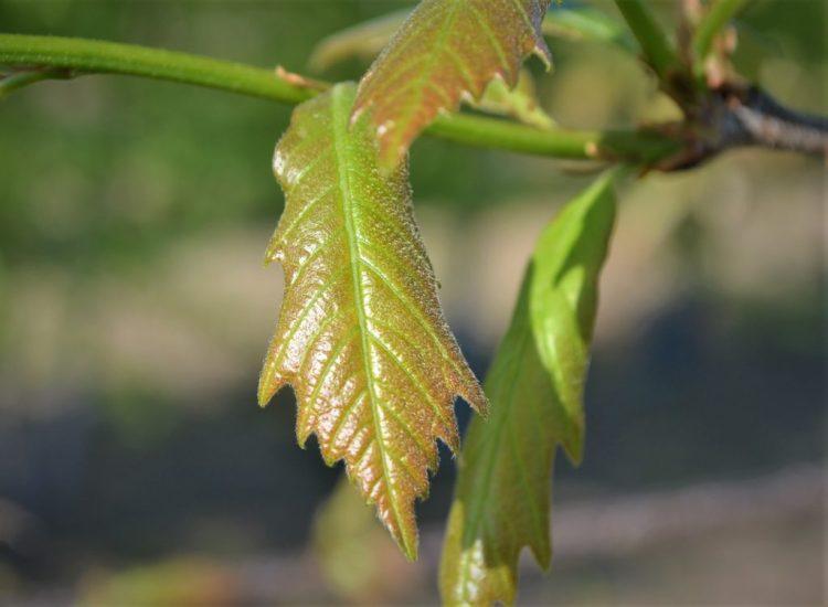 Swamp White Oak Spring Leaves