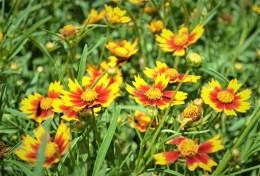 Lil Bang Coreopsis Flowers