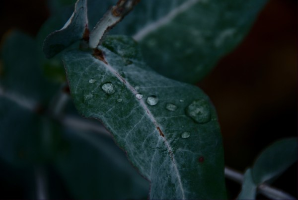 Drops on eucalyptus leaf