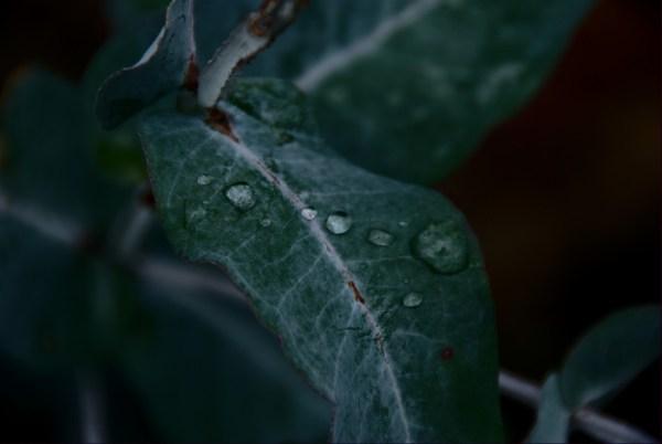 Drops on eucalyptus leaf