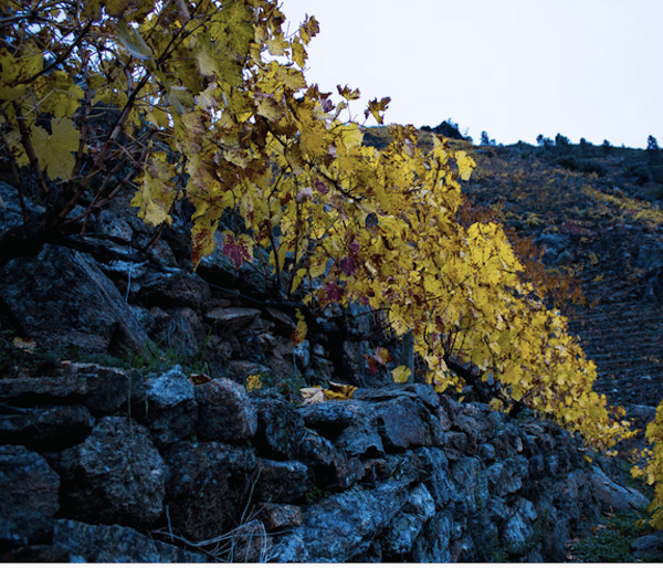 stoney hillside vines