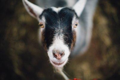 Nezinscot Goats