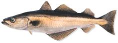 Arinca melanogrammus aeglefinus