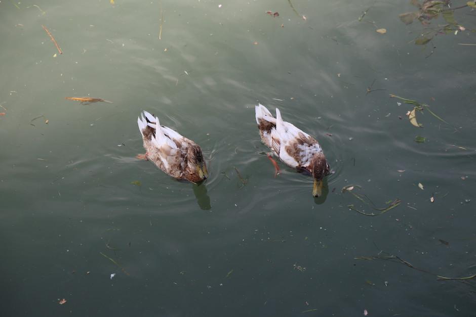 2 Enten im Wasser. Braun, weiß gefleckte Enten schwimmen friedlich nebeneinander...