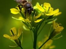 Chú ong và hoa cải