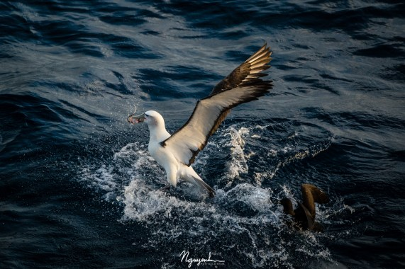 Shy Albatross and White-Chinned Petrel fighting for food