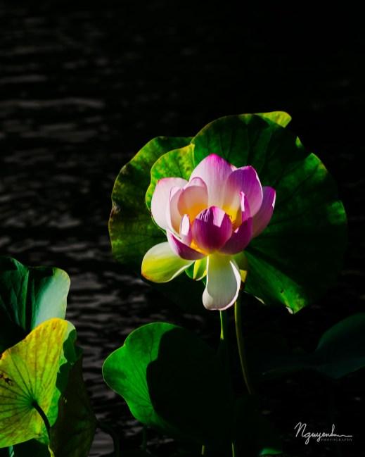 lotus in the sun