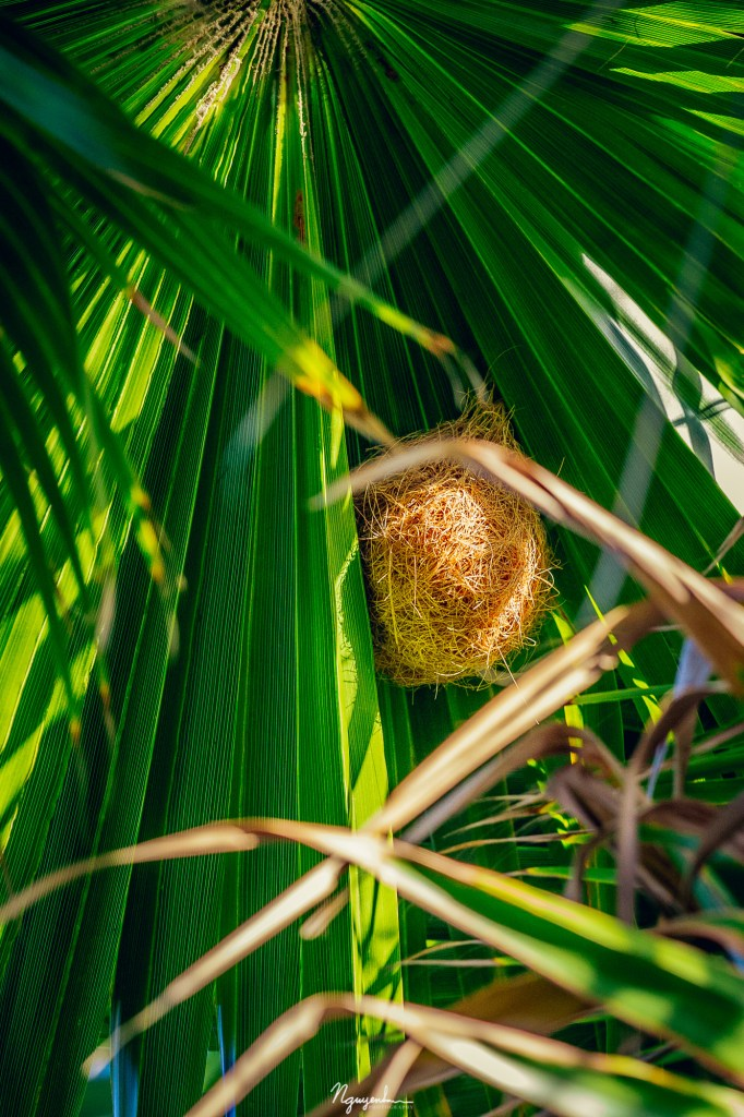 hooded oriole, nest