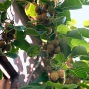 Hướng dẫn các bước trồng kiwi từ hạt